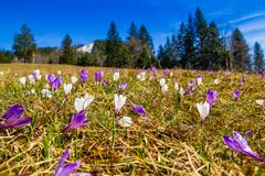White and purple crocus flowers blooming on the spring meadow. In mountains royalty free stock photo