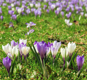 White and purple crocus flowers Royalty Free Stock Images