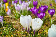 White and purple crocus bloom in garden. Close-up of Crocus chrysanthus and Crocus vernus bloom. Early spring expressions in German gardens. Bringing joy by royalty free stock photo