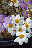 White and Purple Crocuses in a Ceramic Pot. Royalty Free Stock Photo
