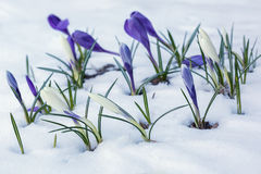 White and purple crocuses growing on a snow-covered flowerbed. Stock Photography