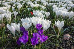 White and purple crocuses on a meadow royalty free stock images