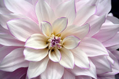 White and purple dahlia flower Royalty Free Stock Images