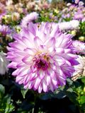 White and purple dahlia flower Royalty Free Stock Photography