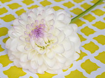 White and purple dahlia Stock Photography