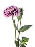 White-purple dahlia Stock Photo