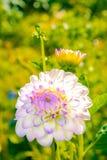 White and purple dahlia Royalty Free Stock Photo