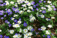 White and Purple Daisies Royalty Free Stock Photography