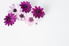 White and purple daisies. In white background stock photo