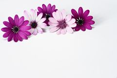 White and purple daisies. In white background stock photography