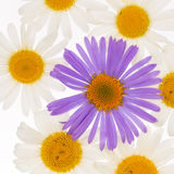 White and purple daisies Royalty Free Stock Images