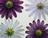 White and purple daisies Stock Photos
