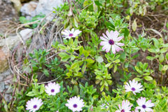 White and Purple Daisies on Stone Royalty Free Stock Photo