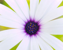 White and purple daisy. Close-up of a white and purple daisy, on a green background, for an almost abstract picture royalty free stock photo