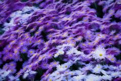 White and purple daisy flowers. Abstract expressionist rendering of background consisting of white and purple daisy flowers Stock Photo