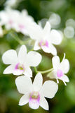 White purple dendrobium Royalty Free Stock Image