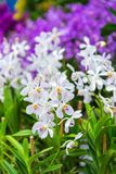 A white and purple dot orchid in garden outdoor background Stock Image