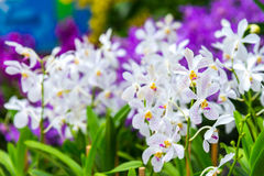 A white and purple dot orchid in garden outdoor background Royalty Free Stock Image