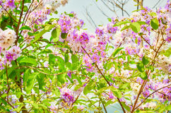 White and purple flower background,cananga flower background. White and purple flower background Stock Images