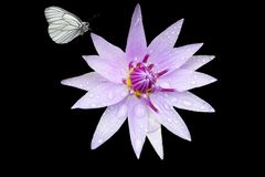White and purple flower in black background stock images