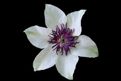 White and purple flower in black background royalty free stock photos