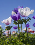 White and purple flower field. White and purple Poppy Anemone in the field Stock Image