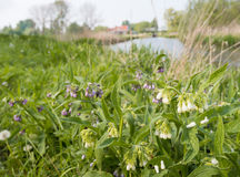 White and purple flowering Common Comfrey Stock Photo