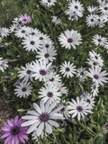 White and purple flowers as a background Royalty Free Stock Photography