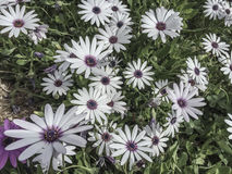 White and purple flowers as a background Stock Photos