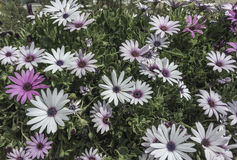 White and purple flowers as a background Royalty Free Stock Images