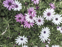 White and purple flowers as a background Stock Image