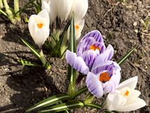 White and purple flowers of crocus on a sunny day against the background of the earth. stock photography