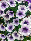 White and purple flowers. A group of white and purple petunia& x27;s Stock Photography