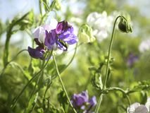 White and purple flowers of Sweet pea Lathyrus odoratus growing in a garden royalty free stock images