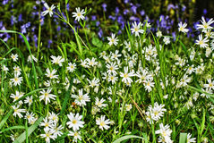 White and purple flowers. Wild white and purple flowers in the summer Stock Photography