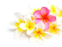 White and purple Frangipani flowers Royalty Free Stock Photography