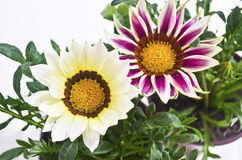 white and purple gazania flowers stock image