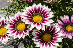 White and purple gazania flowers. Royalty Free Stock Images
