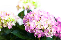 Hydrangea Royalty Free Stock Images