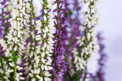 White and purple heather flowers. Close-up of white and purple heather flowers Stock Photos