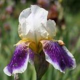 White and purple iris Royalty Free Stock Photos