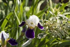 White and purple iris Stock Image