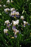 White and purple iris flowers blooming group, blurry green leaves. Background royalty free stock photo