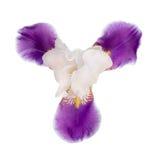 White and purple iris Stock Photography