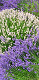 White and Purple Lavender flowers in landscape row. Purple and white flowers on lavender spikes, green background with copyspace, plant has medicinal qualities royalty free stock images
