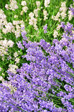 White and purple lavender flowers. White and purple flowers on lavender plant spikes, copyspace, plant has medicinal qualities, health benefits. Used in teas stock images