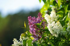 White and purple Lilacs. In the evening sunlight Royalty Free Stock Image