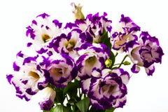 White-purple lily Stock Photo