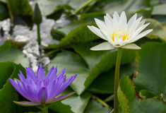 White and Purple Lotus in the pond. Blooming White lotus and Purple Lotus in the pond Stock Photography