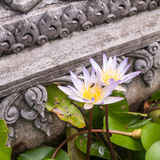 White and Purple Lotus in pond temple Royalty Free Stock Image